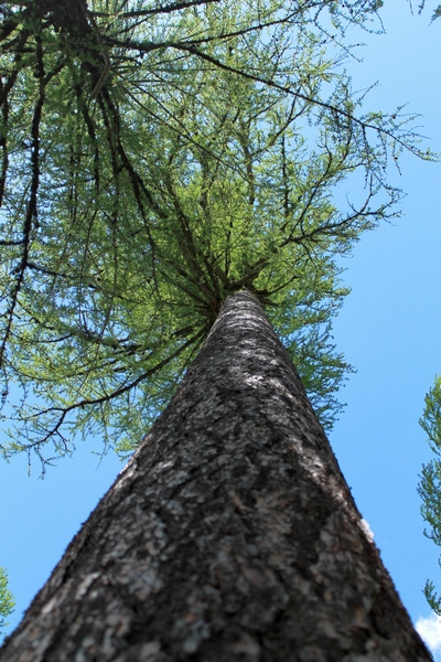 Looking up at a tall Larch tree at Clearwater Lake (in the Lolo National Forest) trails end. 5/24/17