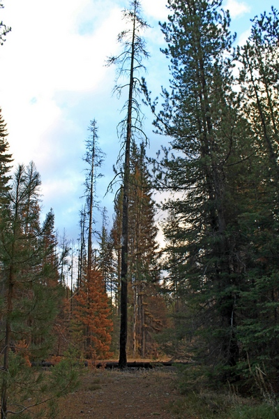 Picture taken 10/11/17 about 100 yards up the trail from the Morrell Falls trailhead.  This burned tree is a typical 'snag'.  It is obviously dead with a burned out base.