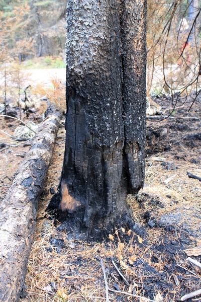 Picture taken 10/11/17 at the Morrell Falls trailhead parking lot.  This burned tree is a typical 'snag'.  It is obviously dead with a very weakened burned out base.  The height of the tree is shown in the picture to the right. This tree is tall enough that if it falls, it may well land on top of a car in the parking lot.