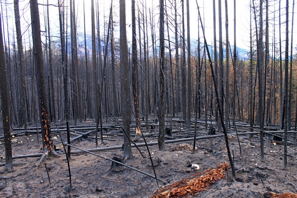 View of the Swan Range behind the burned forest along FR 4353 north of Seeley Lake, Montana.