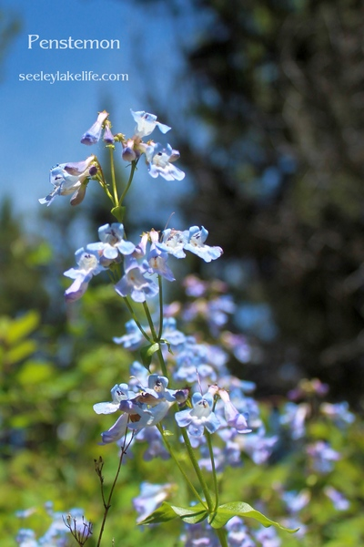 Found along the Auggie-Morrell Cutoff.  Penstemon is the largest genus of flowering plants endemic to North America with 29 species in Montana.