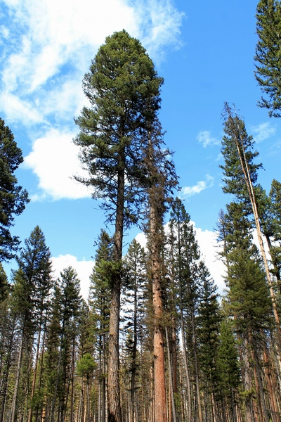 Trees as seen from the trail around Girard Grove, in Seeley Lake Montana