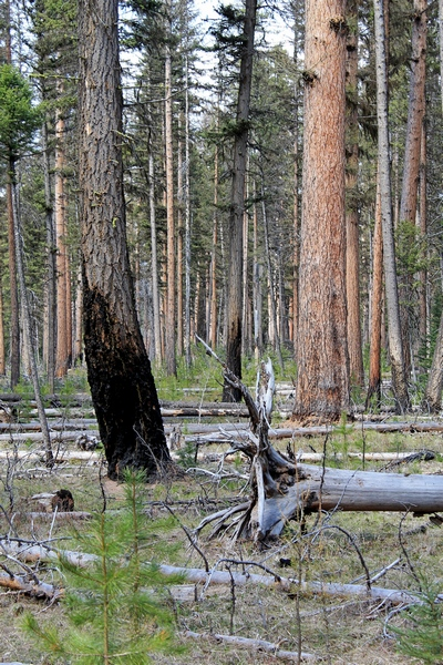 Evidence of burnt trees located in Girard Grove, Seeley Lake Montana, home to the largest & oldest Western Larch tree in the world.