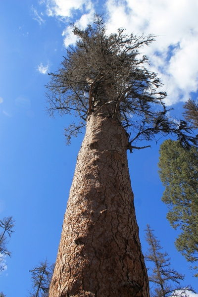 Looking up at 'Gus', the world's largest Western Larch tree. Located in Girard Grove, Seeley Lake Montana.