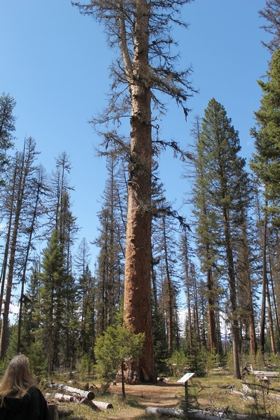 Located in Girard Grove, Seeley Lake Montana is the largest Western Larch tree in the world.