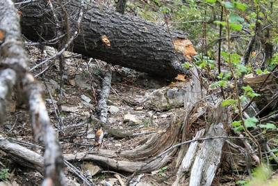 Grizzly basin trail (409) blocked by fallen trees about 100 feet up from its beginning near the end of Morrell Falls Trail (30). 5/20/17