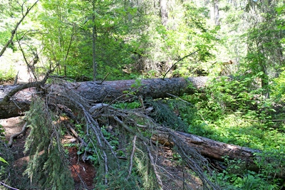 Large tree recently fell across the start of the Grizzly Basin Trail making passage difficult.  This can be seen from the Morrell Falls Trail near Morrell Falls.  The trail is going up the left side of the picture.  This is also the trail to the top of Morrell Falls.  Photo taken on 6/11/17.