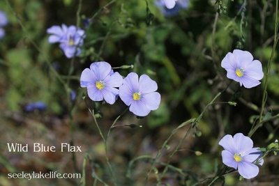 Wild Blue Flax wildflowers seen in Milltown, Montana on 5/30/17