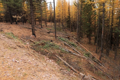 A fuel break... a line of cut trees to slow the spread of fire along FR4361 as it appeared on 10/18/17.  This area along the road did not burn.