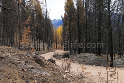 Looking east along FR4361 from a burned section towards an unburned group of Larch trees in the distance on 10/18/17