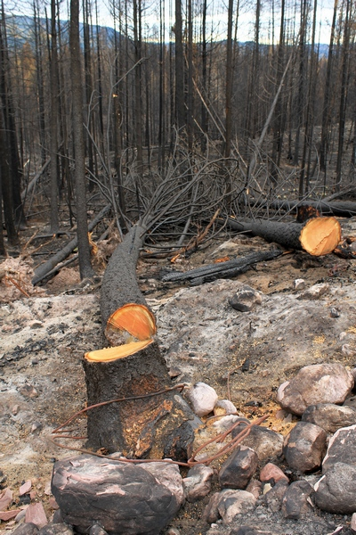 North of Seeley Lake, MT, trees with scorched bark near the road were cut down to slow the spread of fire along FR4361
